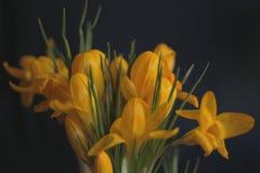 Κίτρινοι κρόκοι σε ένα σκούρο μπλε υπόβαθρο - λουλούδια άνοιξη Στοκ εικόνες με δικαίωμα ελεύθερης χρήσης
