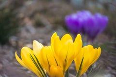 Κίτρινοι κρόκοι στοκ εικόνες