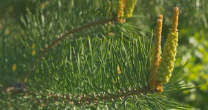 Κίτρινοι κώνοι πεύκων στα δέντρα πεύκων Οι κώνοι πεύκων κρεμούν στον κλάδο του δέντρου κλείστε επάνω απόθεμα βίντεο