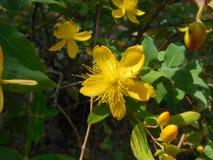 Κίτρινοι λουλούδια και οφθαλμοί Στοκ Εικόνα