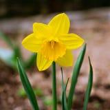 Κίτρινοι λουλούδι ή νάρκισσοι daffodil, στην πράσινη χλόη κατά τη διάρκεια του sprin στοκ εικόνες με δικαίωμα ελεύθερης χρήσης