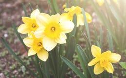 Κίτρινοι νάρκισσοι στον κήπο Στοκ Εικόνες