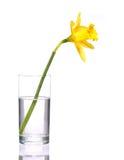 Κίτρινοι νάρκισσοι στο διαφανές βάζο, που απομονώνεται Στοκ Εικόνα