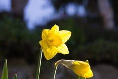 Κίτρινοι νάρκισσοι Στοκ εικόνες με δικαίωμα ελεύθερης χρήσης