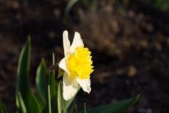 Κίτρινοι νάρκισσοι Στοκ εικόνα με δικαίωμα ελεύθερης χρήσης