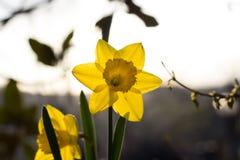 Κίτρινοι νάρκισσοι Στοκ φωτογραφίες με δικαίωμα ελεύθερης χρήσης