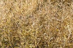 κίτρινοι ξηροί λοβοί της συγκομιδής στοκ φωτογραφίες με δικαίωμα ελεύθερης χρήσης