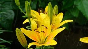 Κίτρινοι οφθαλμοί και πέταλα κρίνων κάτω από τη βροχή φιλμ μικρού μήκους