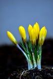 Κίτρινοι οφθαλμοί λουλουδιών κρόκων Στοκ Εικόνες