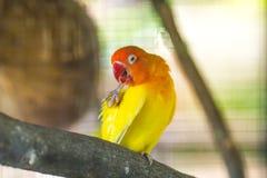 κίτρινοι παπαγάλοι Lovebird που κάθονται σε έναν κλάδο δέντρων Στοκ Εικόνες