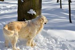 Κίτρινοι περίπατοι σκυλιών στα ξύλα το χειμώνα Στοκ εικόνα με δικαίωμα ελεύθερης χρήσης