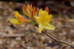 Κίτρινοι πορτοκαλιοί οφθαλμοί 02 λουλουδιών αζαλεών Στοκ Φωτογραφίες