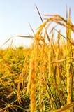 Κίτρινοι σπόροι ορυζώνα στο καλλιεργήσιμο έδαφος Στοκ Φωτογραφία