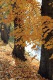Κίτρινοι σφένδαμνοι Στοκ εικόνα με δικαίωμα ελεύθερης χρήσης