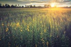 Κίτρινοι τομείς λουλουδιών με τη damatic φύση τοπίων ηλιοβασιλέματος backgr στοκ εικόνα