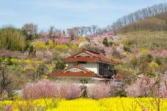 Κίτρινοι τομείς nanohana και ανθίζοντας δέντρα που καλύπτουν τη βουνοπλαγιά, πάρκο Hanamiyama, Φουκουσίμα, Tohoku, Ιαπωνία στοκ εικόνα