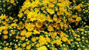 Κίτρινοι Chrysanths/κήπος mums Στοκ Φωτογραφίες