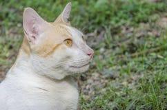 Κίτρινος-άσπρη γάτα Στοκ εικόνες με δικαίωμα ελεύθερης χρήσης