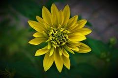 Κίτρινος ήλιος λουλουδιών flover στοκ εικόνα με δικαίωμα ελεύθερης χρήσης