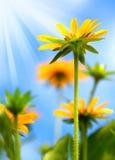 Κίτρινος ήλιος μαργαριτών Στοκ Εικόνα
