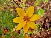 Κίτρινος ήλιος όπως το λουλούδι στον κήπο φθινοπώρου Στοκ εικόνες με δικαίωμα ελεύθερης χρήσης