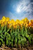 Κίτρινος ήλιος τουλιπών Στοκ εικόνα με δικαίωμα ελεύθερης χρήσης
