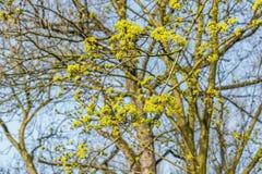 Κίτρινος αναπτυγμένος σφένδαμνος της Νορβηγίας, Acer platanoides, στοκ εικόνα με δικαίωμα ελεύθερης χρήσης