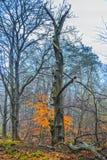 Κίτρινος αναπτυγμένος σφένδαμνος της Νορβηγίας, Acer platanoides, στοκ φωτογραφία