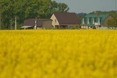 Κίτρινος ανθίζοντας τομέας ελαίου κολζά κοντά στο χωριό στην Ουκρανία Στοκ Φωτογραφία