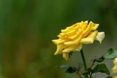 Κίτρινος αυξήθηκε ανθίζοντας Στοκ Εικόνες