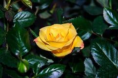 Κίτρινος αυξήθηκε λουλούδι, πράσινο φυτό κλάδων, σκούρο πράσινο φύλλα backgr Στοκ εικόνες με δικαίωμα ελεύθερης χρήσης
