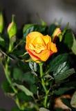 Κίτρινος αυξήθηκε λουλούδι, πράσινο φυτό κλάδων, σκούρο πράσινο φύλλα backgrond Στοκ Φωτογραφία