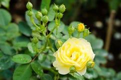 Κίτρινος αυξήθηκε λουλούδι σε έναν κήπο Στοκ Φωτογραφίες