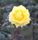 Κίτρινος αυξήθηκε λουλούδι στη φύση Στοκ φωτογραφία με δικαίωμα ελεύθερης χρήσης