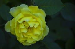 Κίτρινος αυξήθηκε λουλούδι μεταξύ του πράσινου φυλλώματος Στοκ Εικόνα