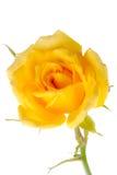 Κίτρινος αυξήθηκε σε ένα λευκό Στοκ φωτογραφία με δικαίωμα ελεύθερης χρήσης
