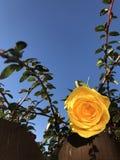 Κίτρινος αυξήθηκε στον ηλιόλουστο θάμνο Στοκ Εικόνες