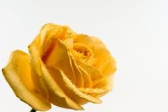 Κίτρινος αυξήθηκε στο άσπρο υπόβαθρο Στοκ φωτογραφίες με δικαίωμα ελεύθερης χρήσης