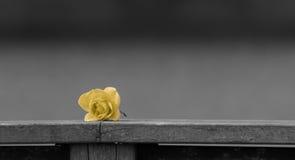 Κίτρινος αυξήθηκε στο μονοχρωματικό υπόβαθρο Στοκ εικόνα με δικαίωμα ελεύθερης χρήσης