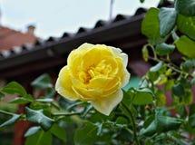 Κίτρινος αυξήθηκε στο πλήρες άνθος, κλείνει επάνω Στοκ Εικόνα