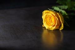 Κίτρινος αυξήθηκε στο σκοτεινό υπόβαθρο Συγκρατημένος φωτισμός στοκ εικόνες