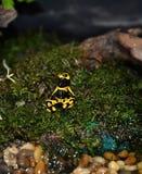 Κίτρινος βάτραχος βελών δηλητήριων φραουλών Στοκ φωτογραφίες με δικαίωμα ελεύθερης χρήσης