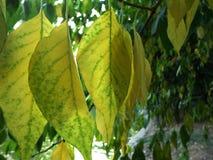 Κίτρινος βγάζει φύλλα Στοκ φωτογραφία με δικαίωμα ελεύθερης χρήσης