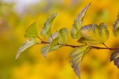 Κίτρινος βγάζει φύλλα Στοκ φωτογραφίες με δικαίωμα ελεύθερης χρήσης