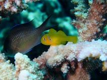 Κίτρινος γοβιός κοραλλιών στο κοράλλι Acropora αρσενικών ελαφιών Στοκ εικόνα με δικαίωμα ελεύθερης χρήσης