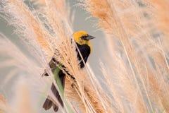 Κίτρινος-διευθυνμένος κότσυφας που σκαρφαλώνει στους μίσχους χλόης Στοκ Φωτογραφίες