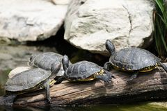 Κίτρινος-διογκωμένες χελώνες scripta scripta Trachemys ολισθαινόντων ρυθμιστών που λιάζονται σε ένα κούτσουρο στο ζωολογικό κήπο στοκ εικόνες