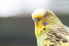 Κίτρινος εξωτικός παπαγάλος, κινηματογράφηση σε πρώτο πλάνο Στοκ Εικόνες