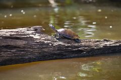 Κίτρινος-επισημασμένη χελώνα ποταμών του Αμαζονίου, λίμνη Sandoval, Αμαζονία, Περού unifilis Podocnemis Στοκ Φωτογραφία