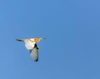Κίτρινος ερωδιός κατά την πτήση Στοκ Φωτογραφίες
